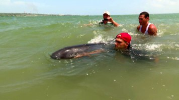 Dos delfines de la especie Marsopas, poco visto en las cercanías de las costas cubanas, llegaron a la Bahía de Matanzas. Una historia de agonía, rescate y mucho calor vivieron la pareja de animales, que también son amigos de los hombres. Foto: Raúl Dávalos Peña.
