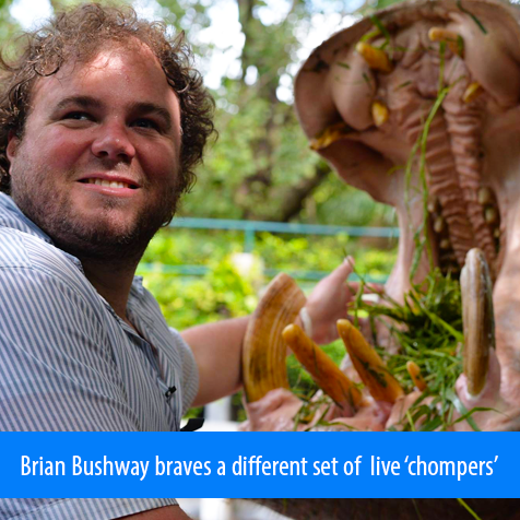 Brian Bushway braves a different set of live 'chompers'. Image shows Brian feeling the tusk and cheek of a hippopotamus that has opened its mouth wide for feeding time.