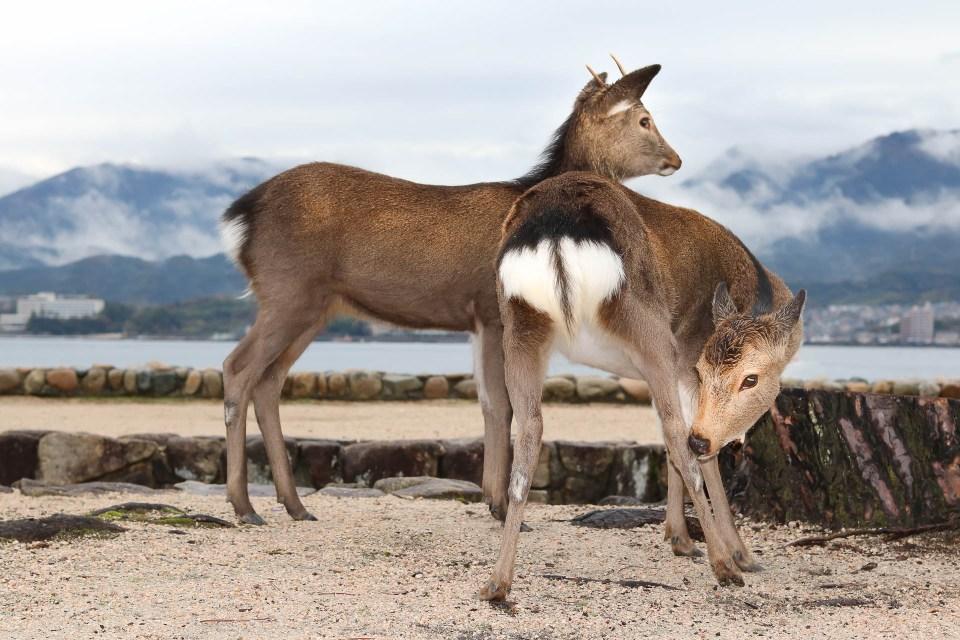 Deer-japan-island