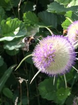 Bee landing on a thistle by Nicki Hardy