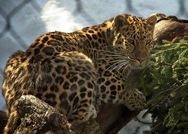 "Amur Leopard at Minnesota Zoo Image by <a href=""https://flic.kr/p/9rHcVh"" target=""_blank"">Jim Denham/flickr</a>"