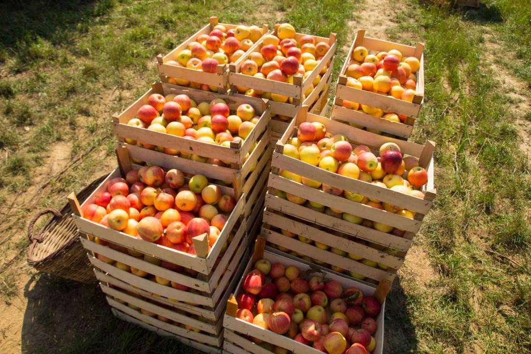 apples in a basket at an orchard