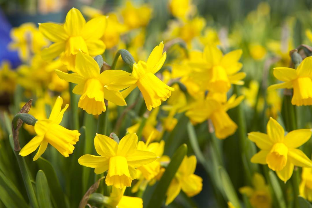 Daffodil Field of flowers
