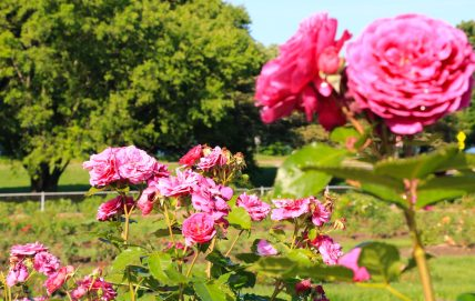 Photo of pink roses at Lyndale Park Rose Garden.