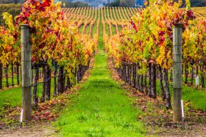 Rows of grape vines at a winery | winery day trips