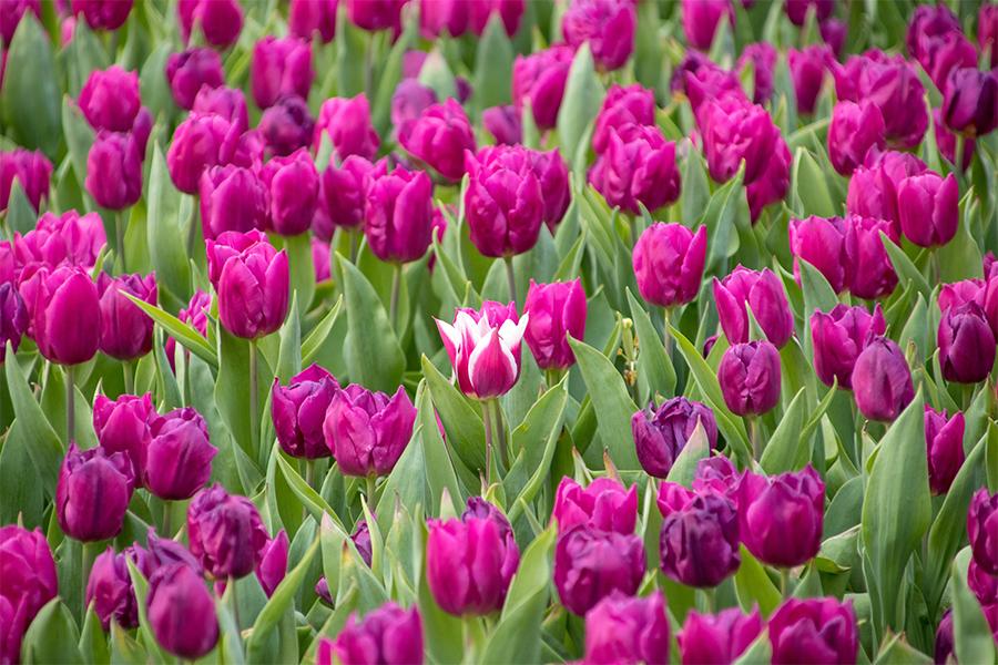 Minnesota Landscape Arboretum's Stars of Spring
