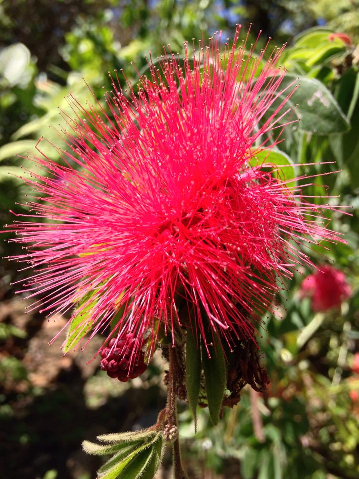 Beautiful red Bottle Brush Flower at the Botanical Gardens in Puerto Vallarta Mexico