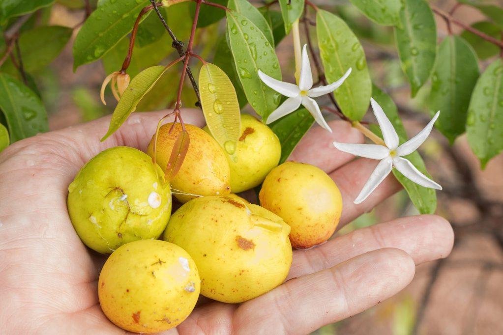 Hancornia native to South America (Brazil, Peru, Bolivia, Paraguay). Called mangabeira, which produces fruits known as mangabas.