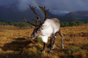 Reindeer in the Cairngorms National Park