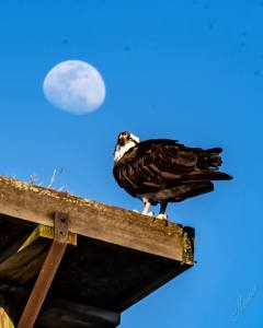 Colonial Beach Osprey Festival April 12-14