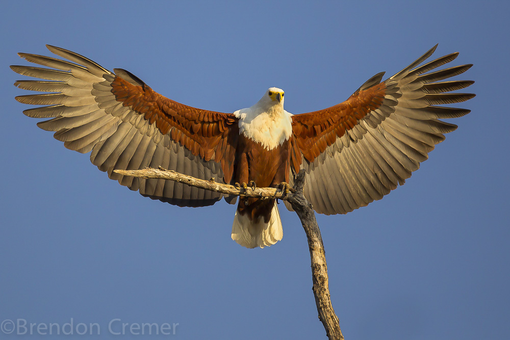 african fish eagle huge wingspan cryptoville