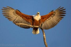 African Fish Eagle (Haliaeetus vocifer) landing