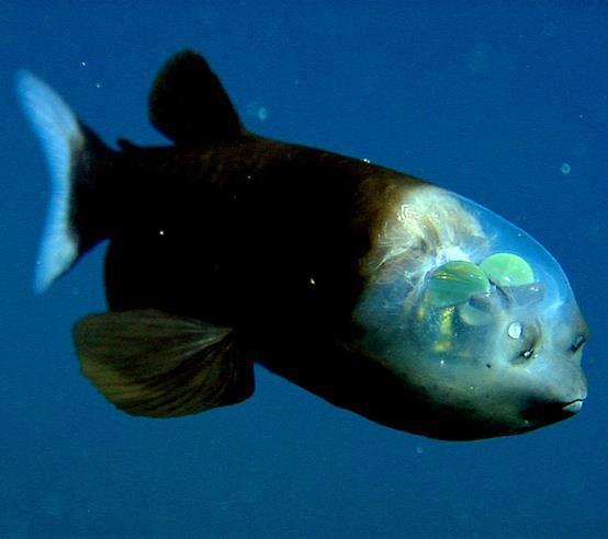 BarreleyeFish