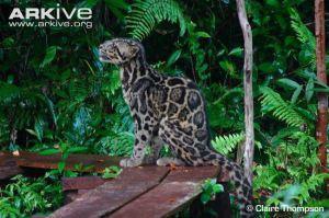 SundaCloudedLeopard