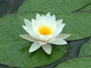 white-water-lily-photos