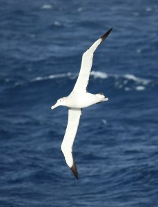 AlbatrossWandering02