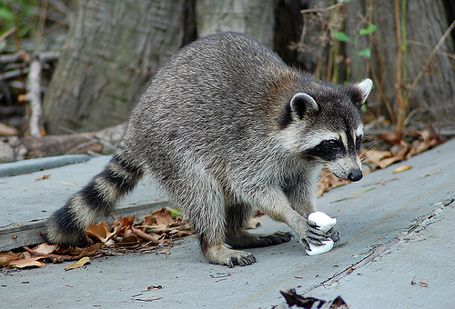 Was a Chupacabra Caught by Texas Couple in April 2014? Raccoon With Mange