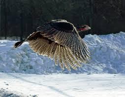TurkeyFlies