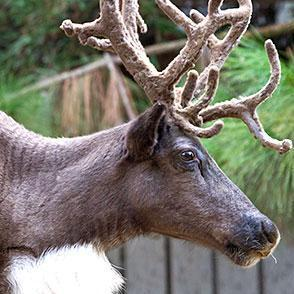 reindeer_thumb