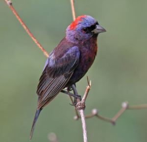 Varied-Bunting-George-Armistead