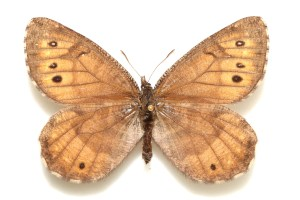 TananaArcticOeneis-tanana-female-dorsal