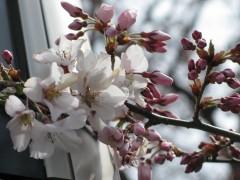 2010/03/31 辰巳の庭の早咲き桜