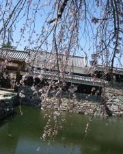 2011/04/14 10:30 国宝松本城 桜情報