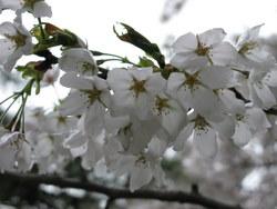 2009/04/17 松本城桜情報