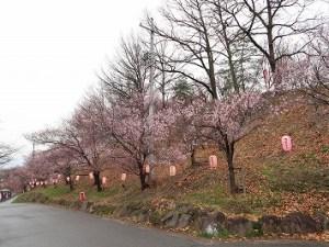 2017/04/11 am6:45 弘法山古墳桜情報