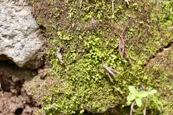 Crickets on a moss-covered rock.