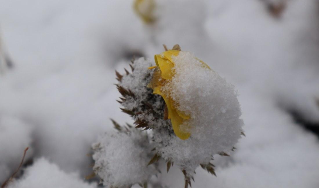 白い雪黄色い福寿草 まつり最終日