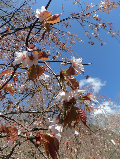 Деревья сакуры в горах Камикоти
