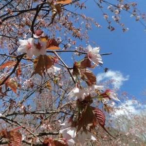 ยามะซากุระในบริเวณแถบคามิโคจิ