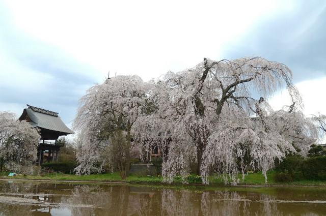 하타 지구 안요지의  시다레 벚꽃