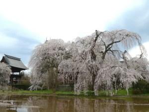 Hänge-Zierkirschen des Anyō-ji Tempels in Hata