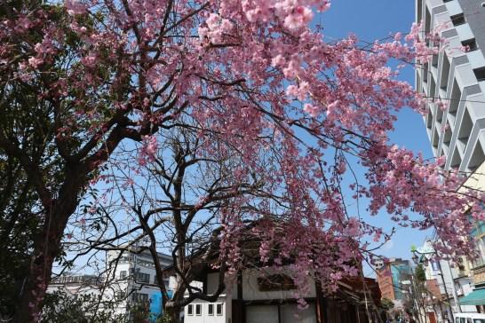 202018-4-4ナワテ通り枝垂れ桜