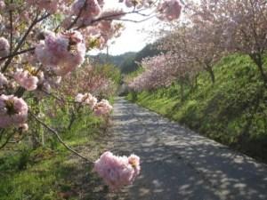 Тропа цветения сакуры Сига-Хосохара (район Ивадо)