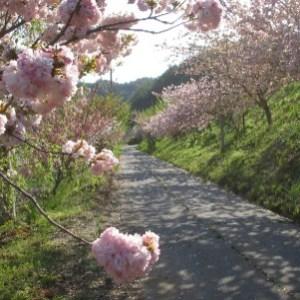 四賀細原地区の桜並木(岩井堂周辺)