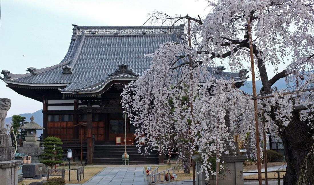 Cherry Blossoms Are Blooming Around Matsumoto