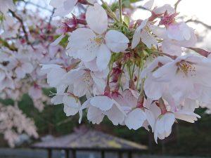まだまだ桜が楽しめますよ ~梓川ふるさと公園~