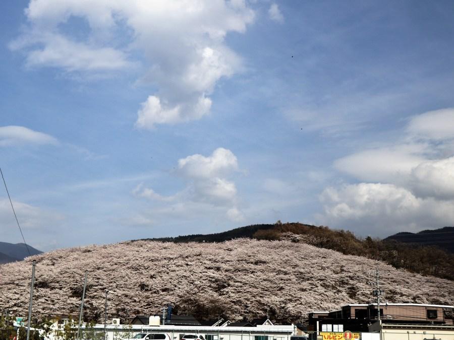 粉紅櫻花山『並柳弘法山』櫻花祭4/2~4/21