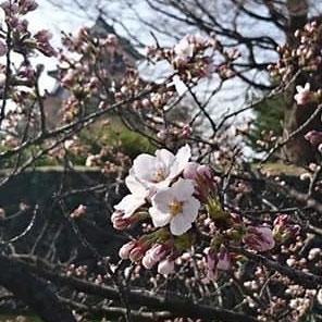 国宝松本城の桜「開花宣言」