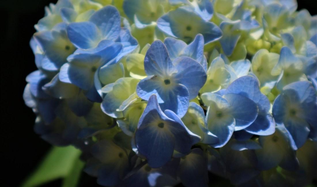 信濃のあじさい寺「弘長寺」紫陽花が美しく咲いています!