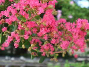 真夏の浅間温泉「枇杷の湯」の百日紅(さるすべり)が見ごろです!&「蔵の通り」の紫陽花