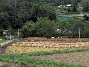 The Harvest Season in Matsumoto