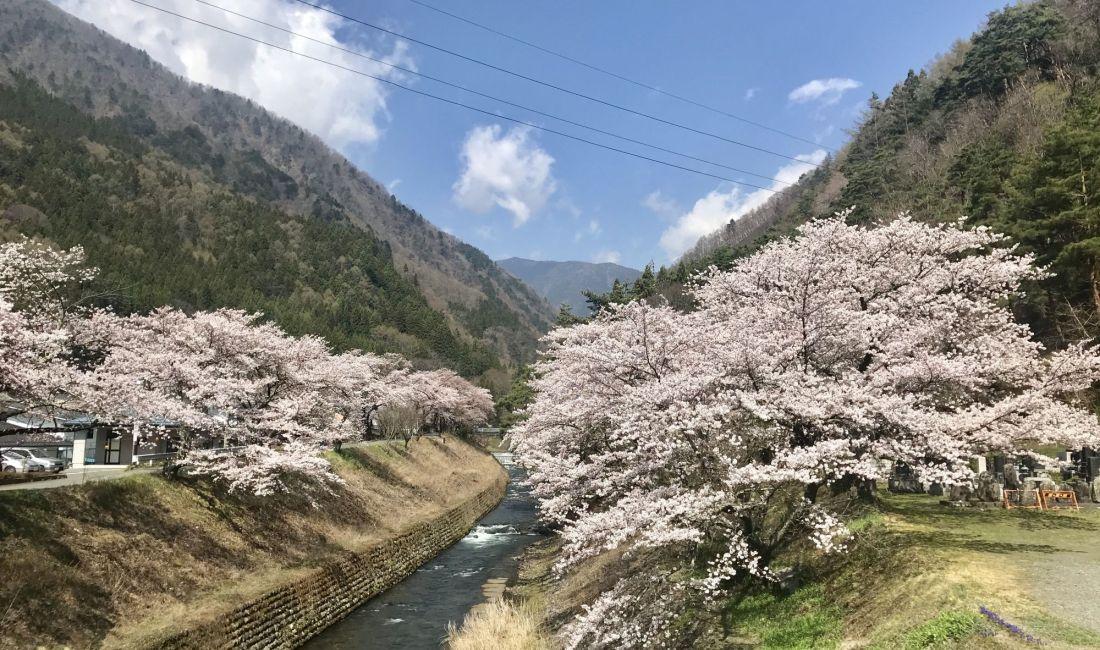 島々谷  徳本峠入り口の桜🌸  見頃です
