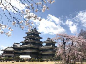 松本的櫻花🌸季來了!(國寶松本城的開花宣言)