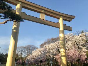 護国神社の桜🌸見頃
