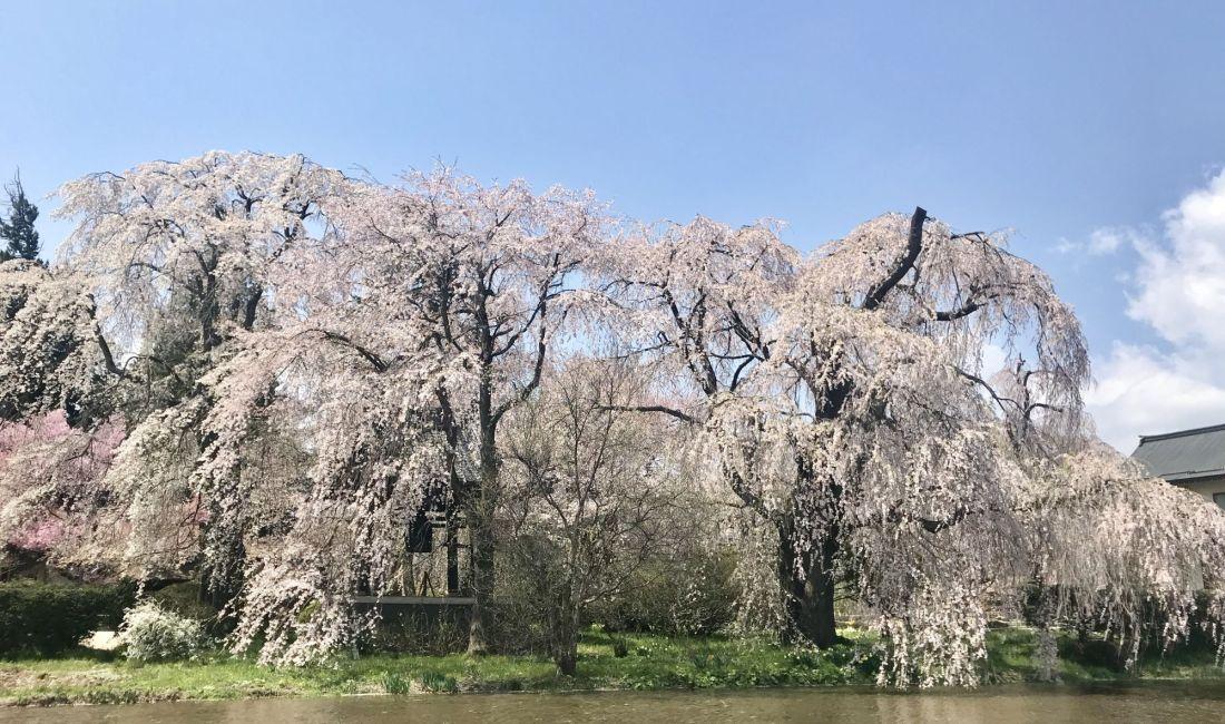 波田  安養寺の桜🌸まだ見頃