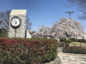 南部公園の桜🌸ほぼ満開〜!